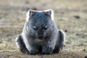 Tasmanien ,Wombat - Honeymoon Australien